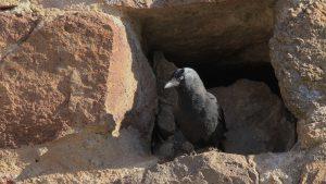 choucas des tours qui niche dans une cavité du donjon crozet